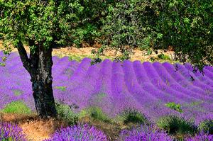 lavender: lavender field
