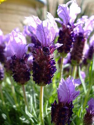 lavender: lavender flower