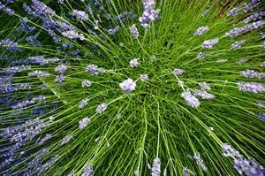 lavender: lavender young plant
