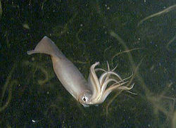 California submerged by giant squids
