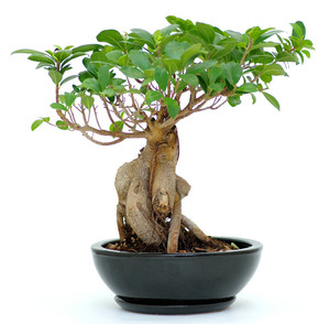 Ginseng, the plant