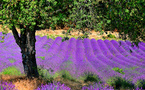 Benefits from lavender in natural state or in essential lavender oil